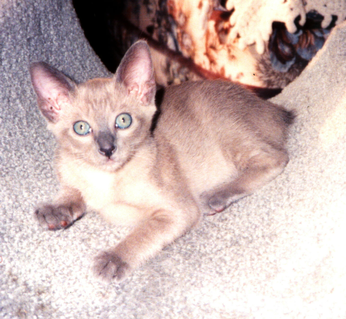 Suphalak Cat: Suphalak Faqttonkinese Breed