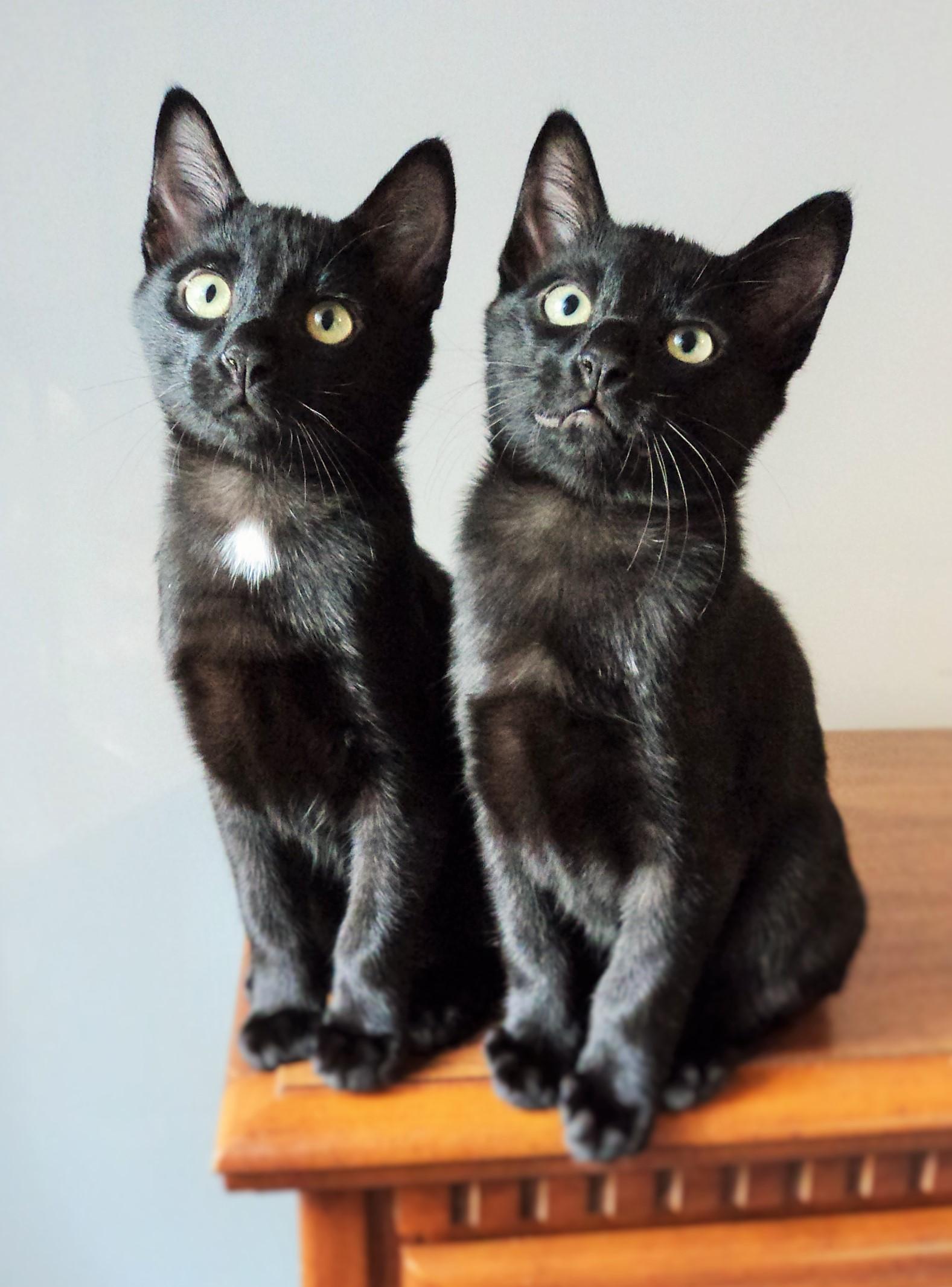 Suphalak Cat: Suphalak Kittenssale Breed