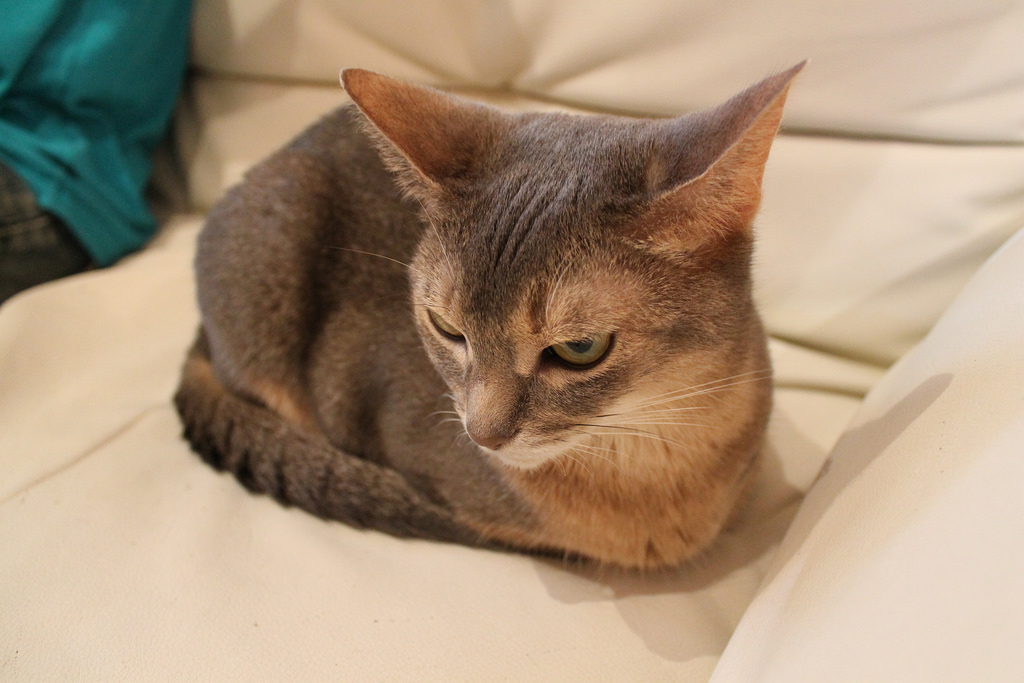 Suphalak Cat: Suphalak List Cat Breeds
