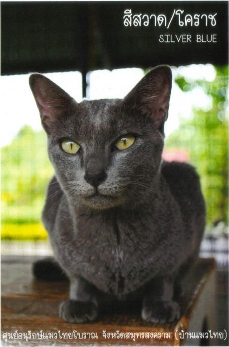 Suphalak Cat: Suphalak Siamese Cats Breed