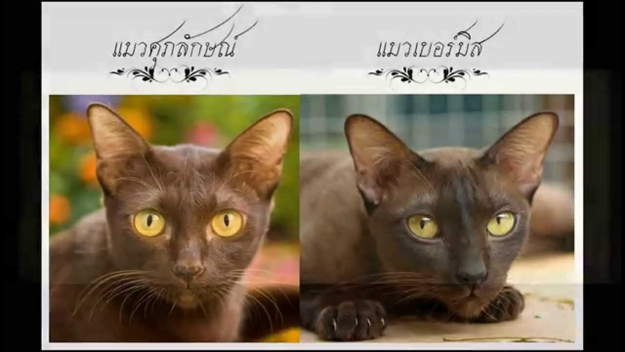 Suphalak Cat: Suphalak Watch Breed
