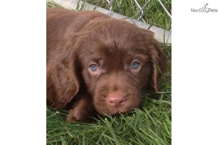 Sussex Spaniel Puppies: Sussex B Aa Breed