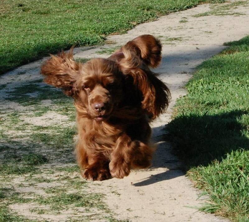 Sussex Spaniel Puppies: Sussex Chevi Breed