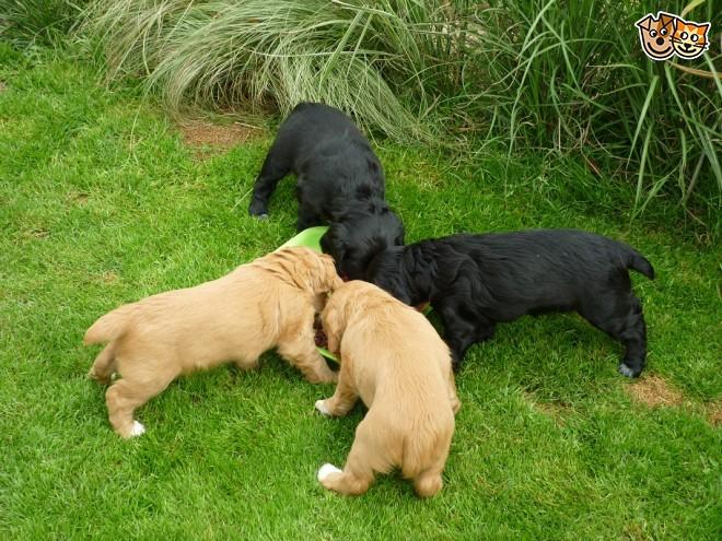 Sussex Spaniel Puppies: Sussex Cocker Spaniel Puppies Chichester Breed