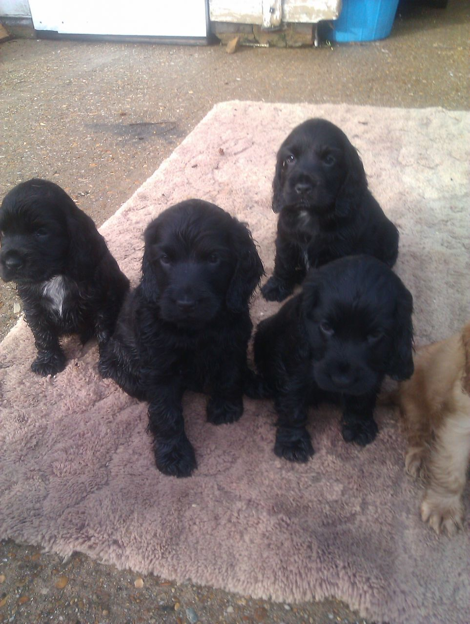 Sussex Spaniel Puppies: Sussex Cocker Spaniel Puppies Horsham Breed