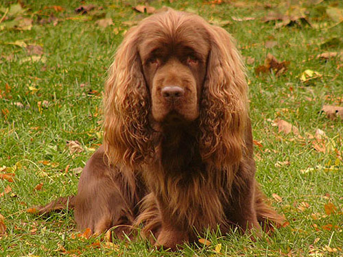 Sussex Spaniel Dog: Sussex Pictures Breed
