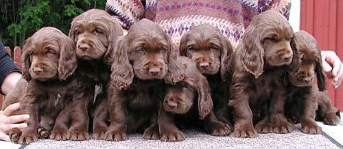 Sussex Spaniel Puppies: Sussex Puppies Breed
