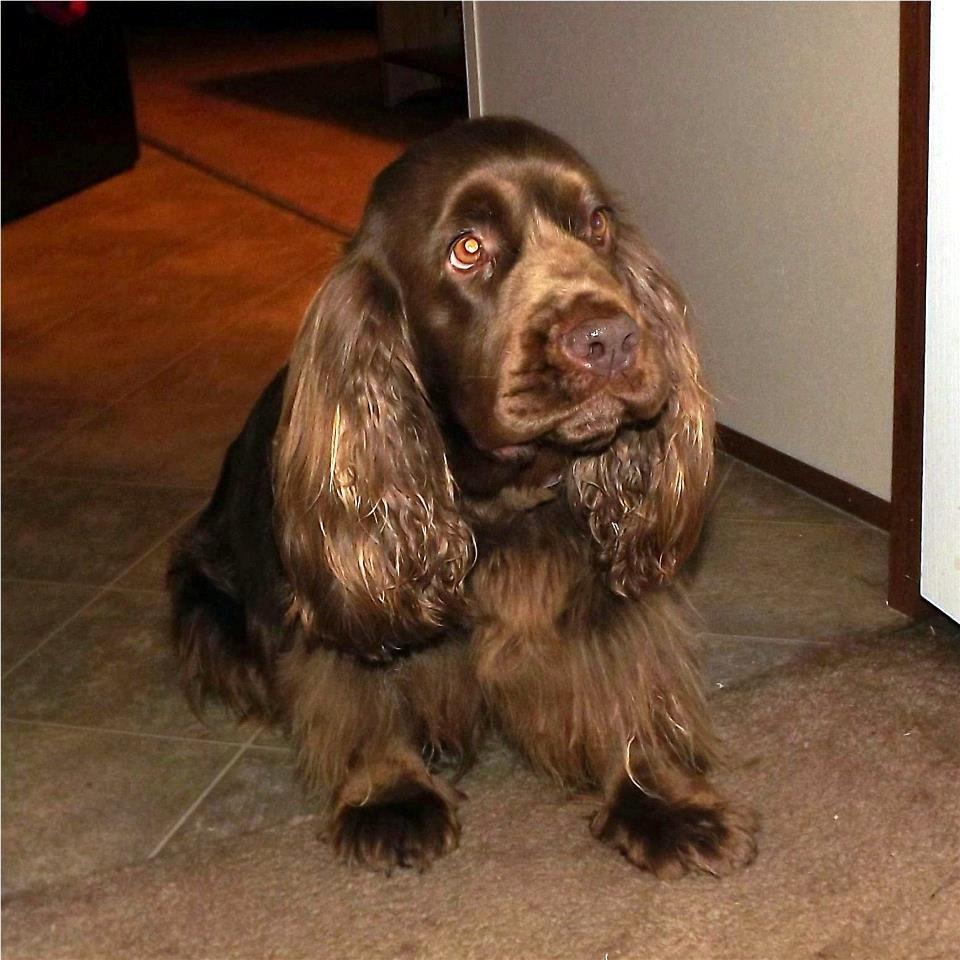 Sussex Spaniel Dog: Sussex Sad Sussex Spaniel Breed