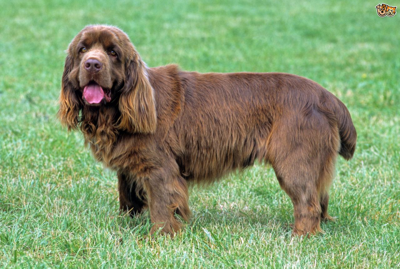 Sussex Spaniel Dog: Sussex Spaniel Breeds Native To The Uk