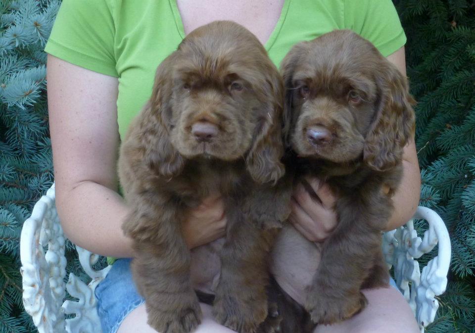 Sussex Spaniel Puppies: Sussex Sussex Breed