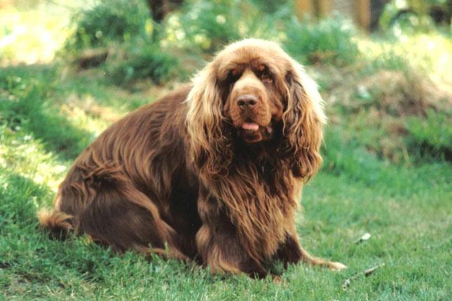Sussex Spaniel Puppies: Sussex Sussex Spaniel Breed