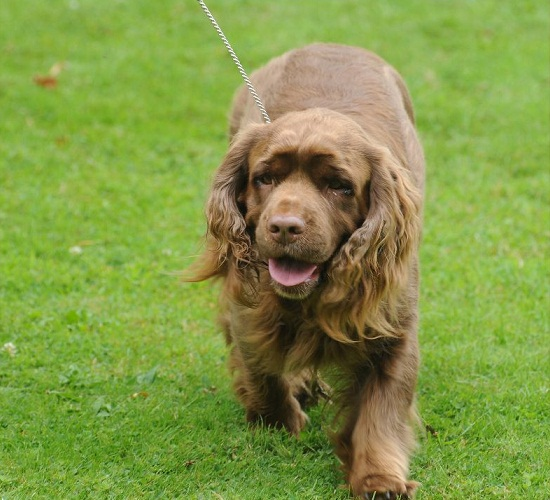 Sussex Spaniel Dog: Sussex Sussex Spaniel Dog Breeds