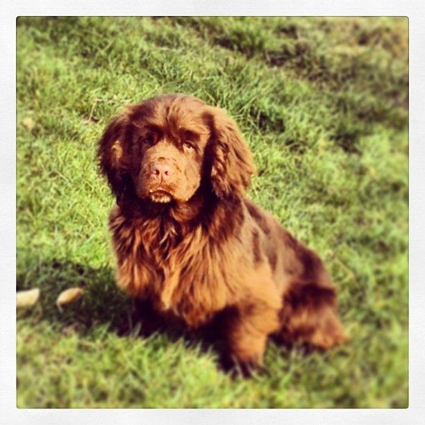 Sussex Spaniel Dog: Sussex Sussex Spaniel Dog Choppington Breed
