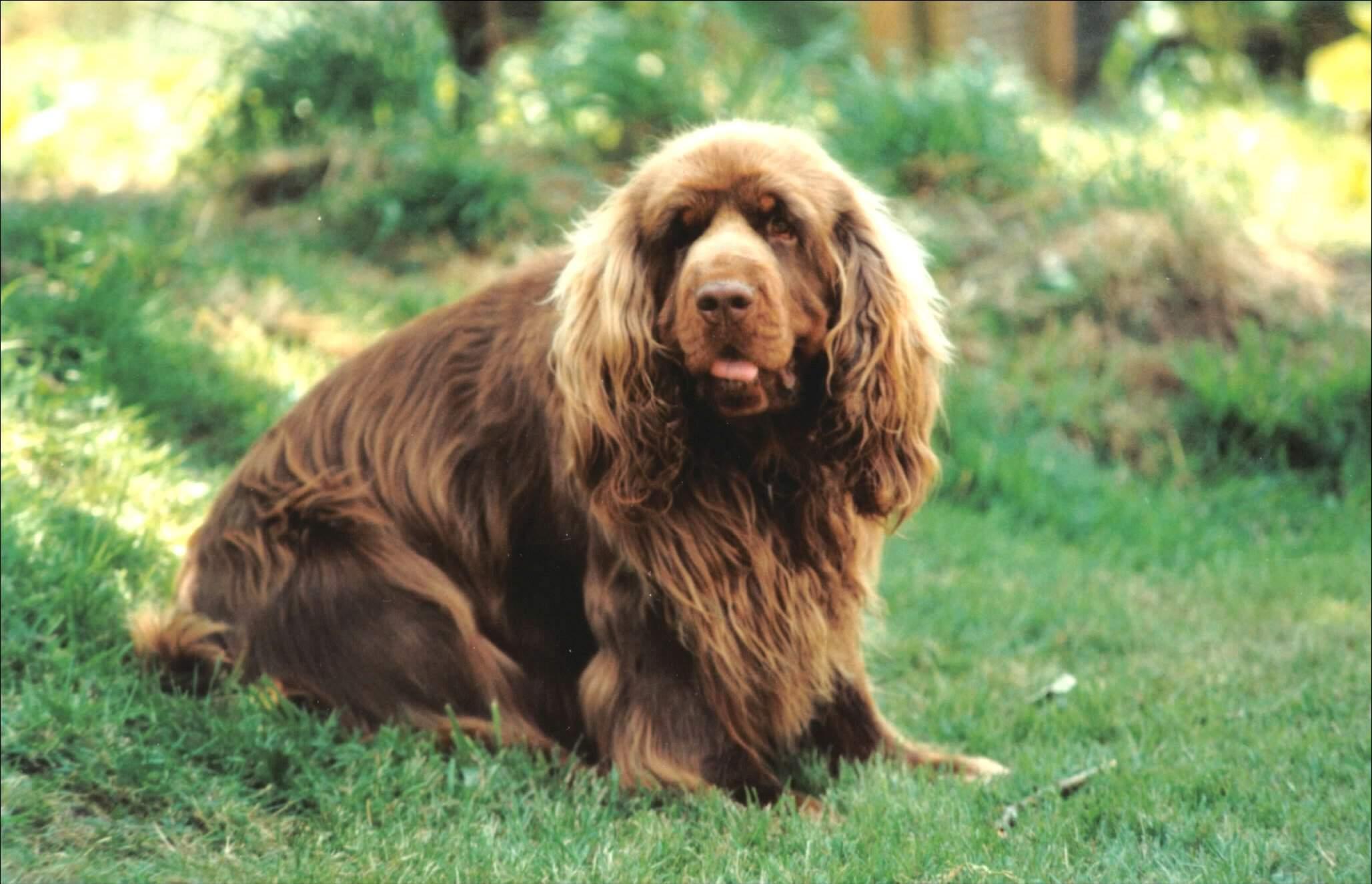 Sussex Spaniel Dog: Sussex Sussex Spaniel Pictures Breed