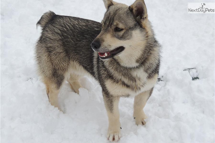 Swedish Vallhund Puppies: Swedish Aed D Breed