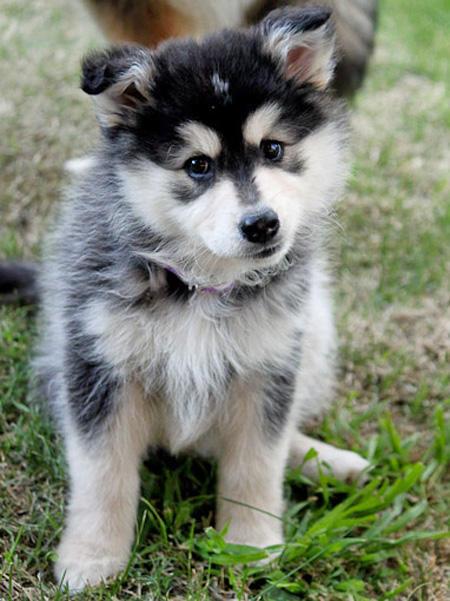 Swedish Lapphund Puppies: Swedish Alera The Finnish Lapphund Breed