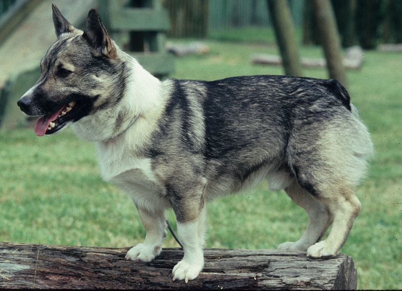 Swedish Vallhund Dog: Swedish Breed Of Month Swedish Vallhund