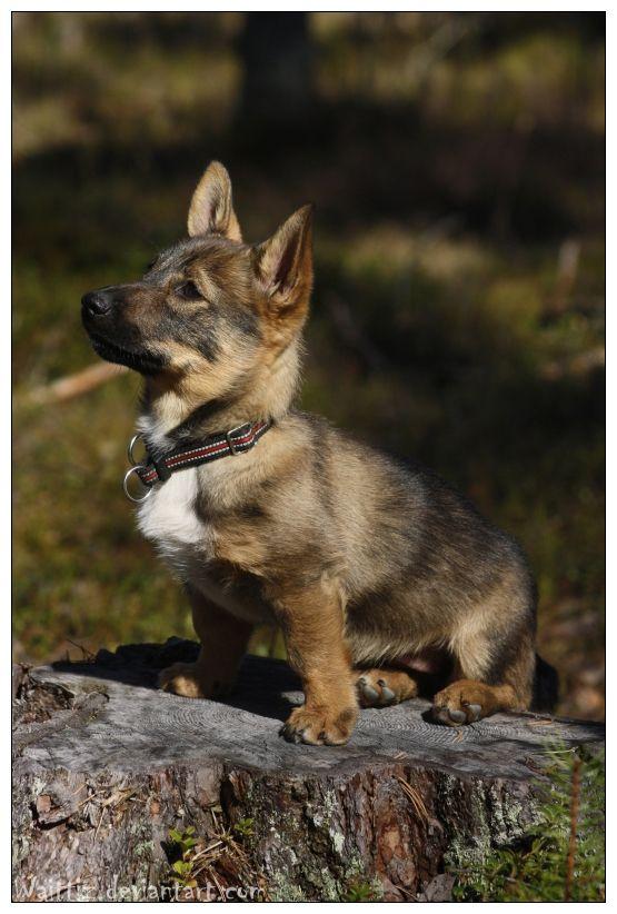 Swedish Vallhund Dog: Swedish Breed
