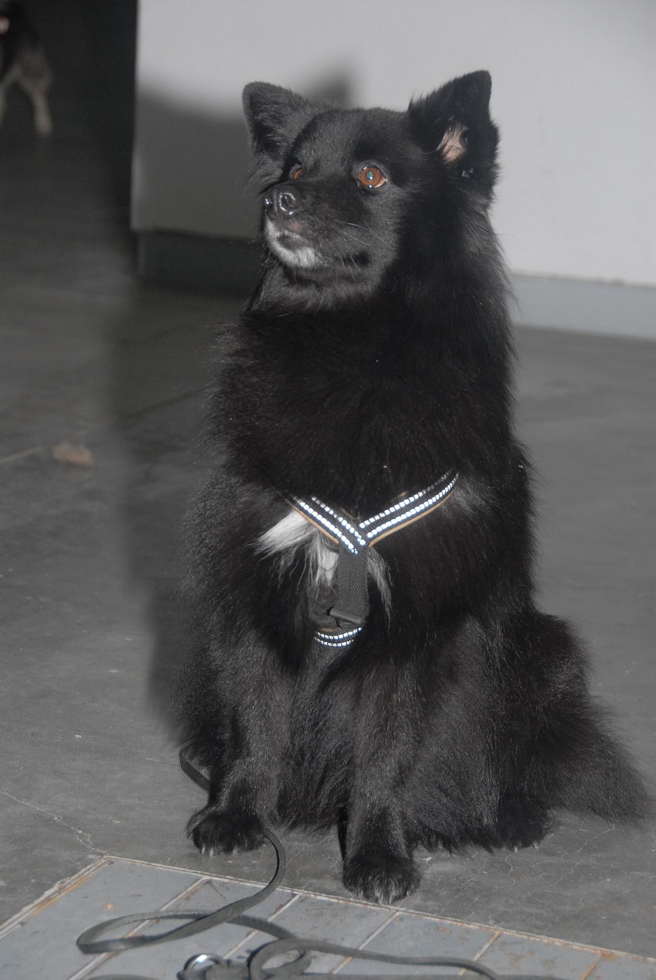 Swedish Lapphund Dog: Swedish Cute Swedish Lapphund Dog Breed