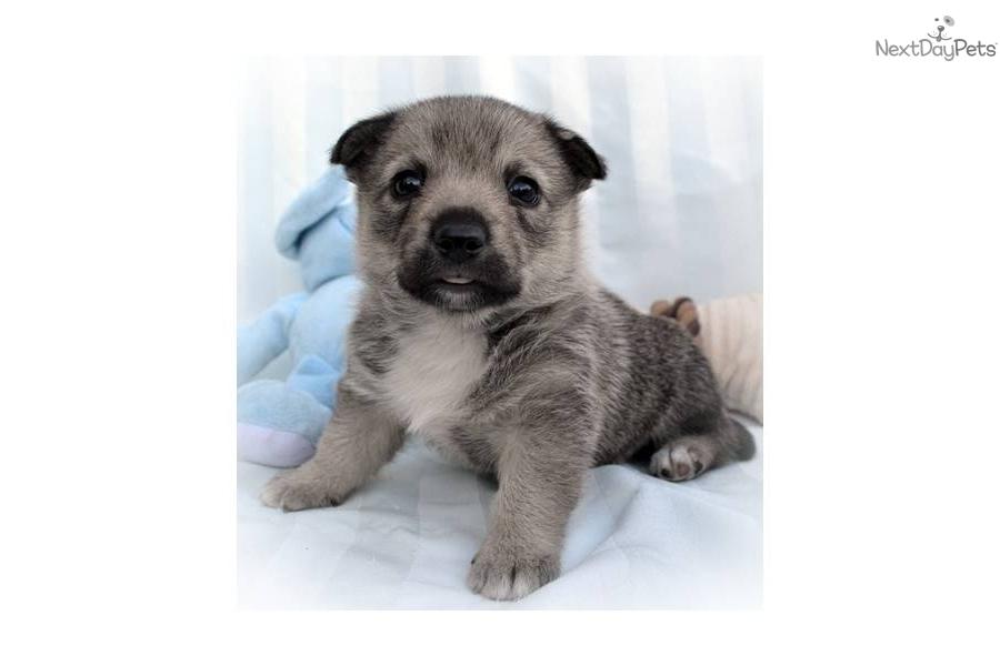 Swedish Vallhund Puppies: Swedish Ddf Adc Breed