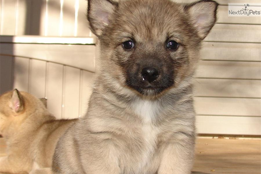Swedish Vallhund Puppies: Swedish Def Fc Breed