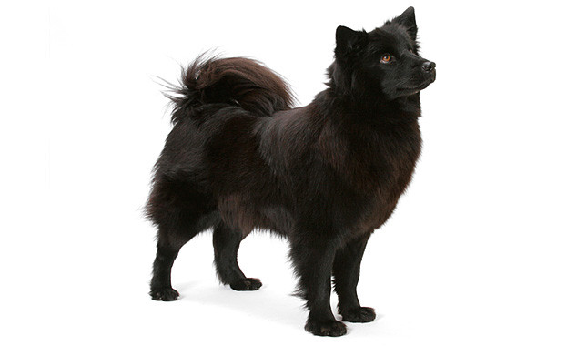 Swedish Lapphund Puppies: Swedish Finnish Lapphund Breed Information Breeders Lists Puppies For Sale