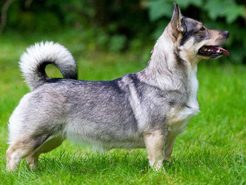 Swedish Vallhund Dog: Swedish Httpccwwwosafincomcscmissyjpg Breed