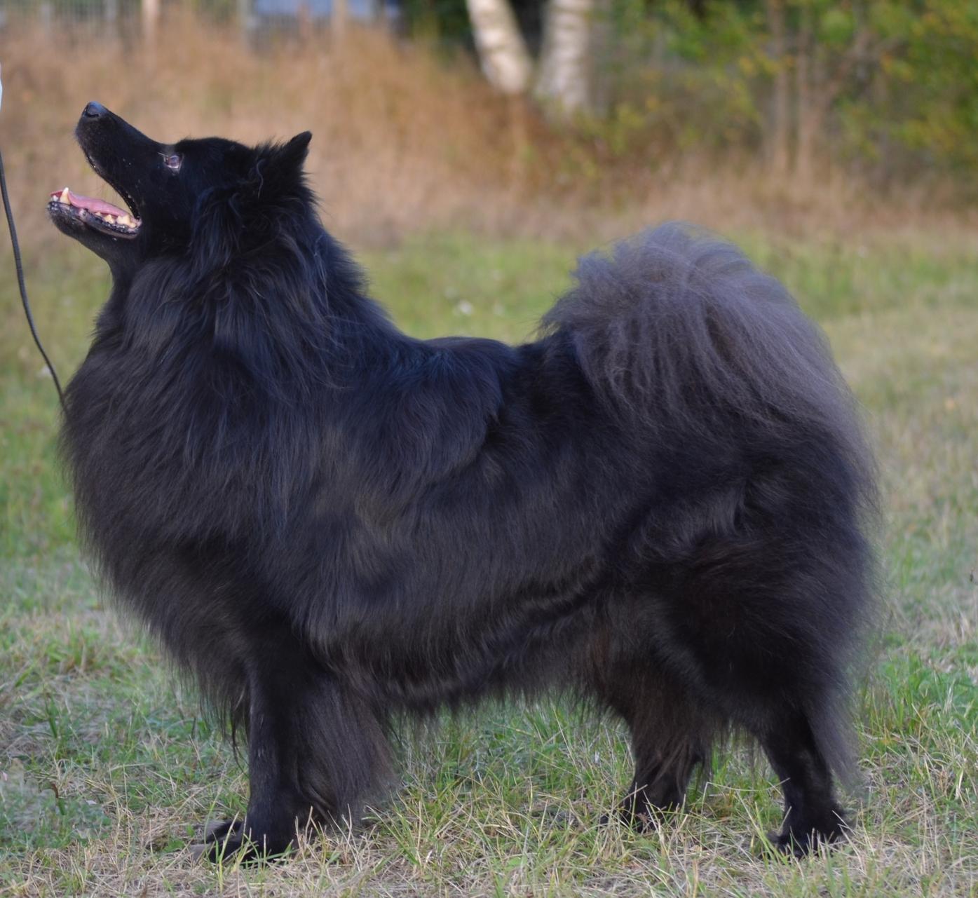 Swedish Lapphund Puppies: Swedish Index Breed