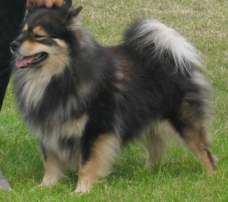 Swedish Lapphund Puppies: Swedish Is Pomsky Unicorn Of Dogs Breed