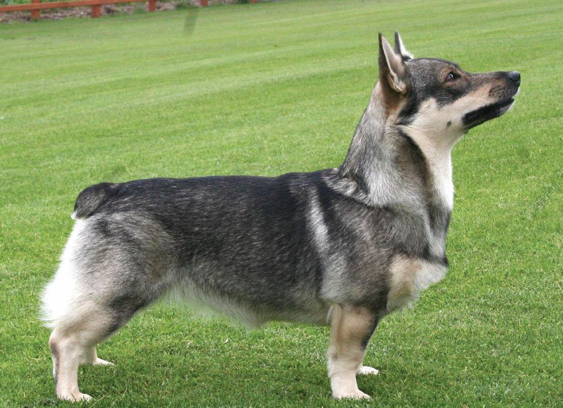 Swedish Vallhund Puppies: Swedish Isvec Vallhound Breed
