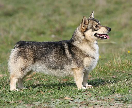 Swedish Vallhund Dog: Swedish Mousematuk Breed