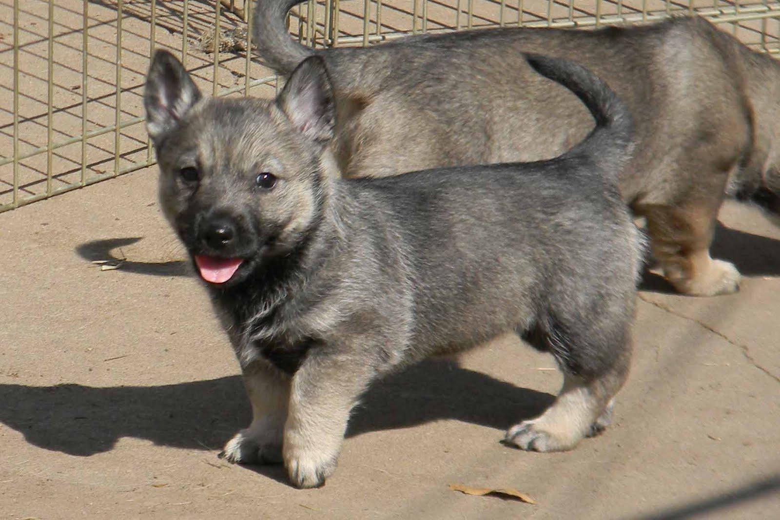Swedish Lapphund Puppies: Swedish Of The Worlds Rarest Dog Breeds