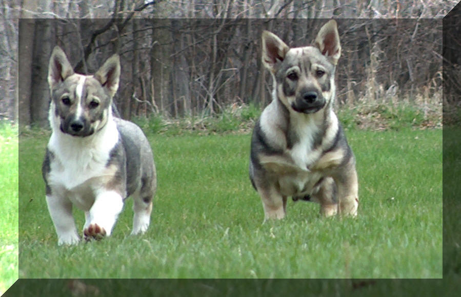 Swedish Vallhund Puppies: Swedish Puppy Breed