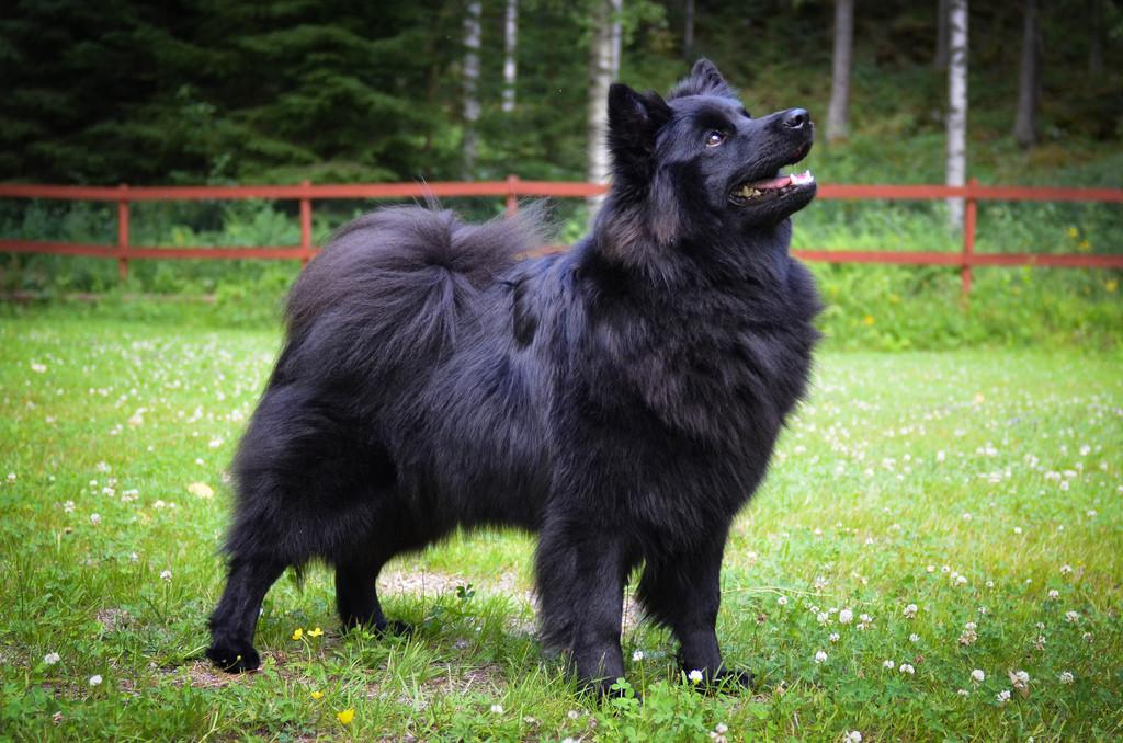 Swedish Lapphund Dog: Swedish Rare Dog Breeds
