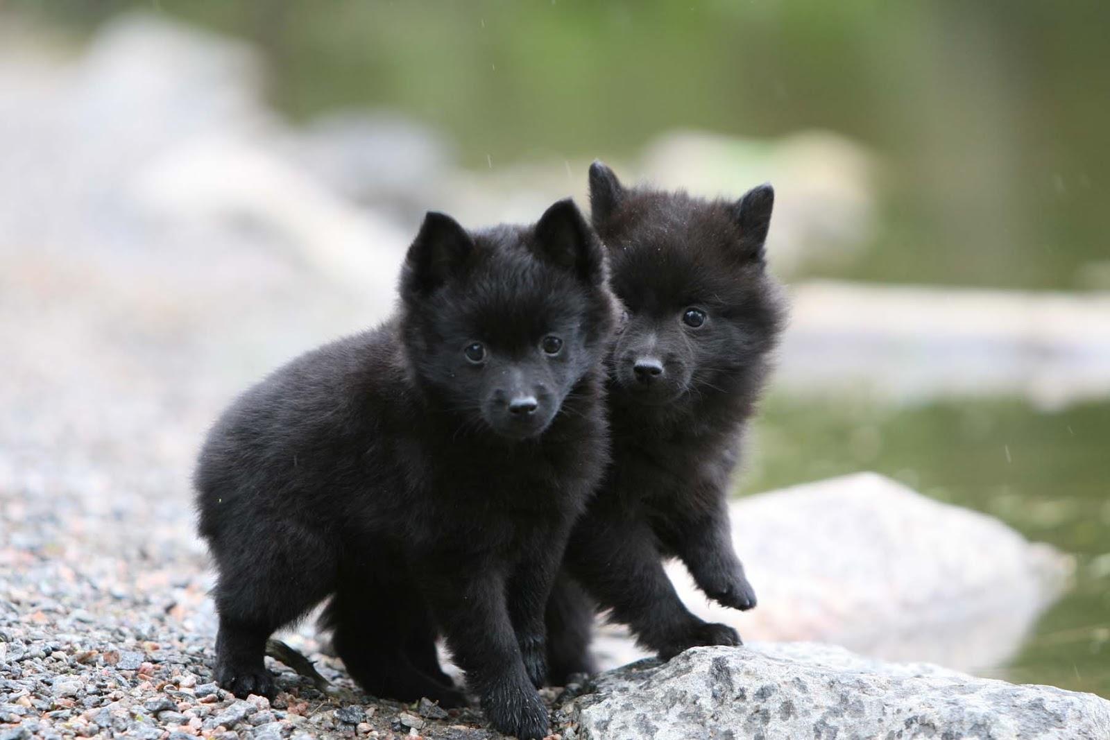 Swedish Lapphund Puppies: Swedish Schipperke Puppies Breed