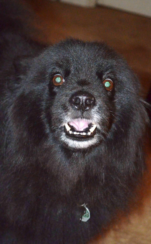 Swedish Lapphund Puppies: Swedish Showthread Breed