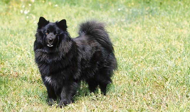 Swedish Lapphund Dog: Swedish Swedish Lapphund Breed