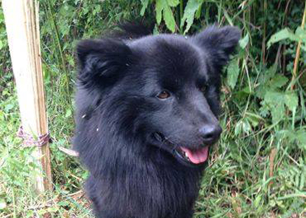 Swedish Lapphund Dog: Swedish Swedish Lapphund Dog Breed