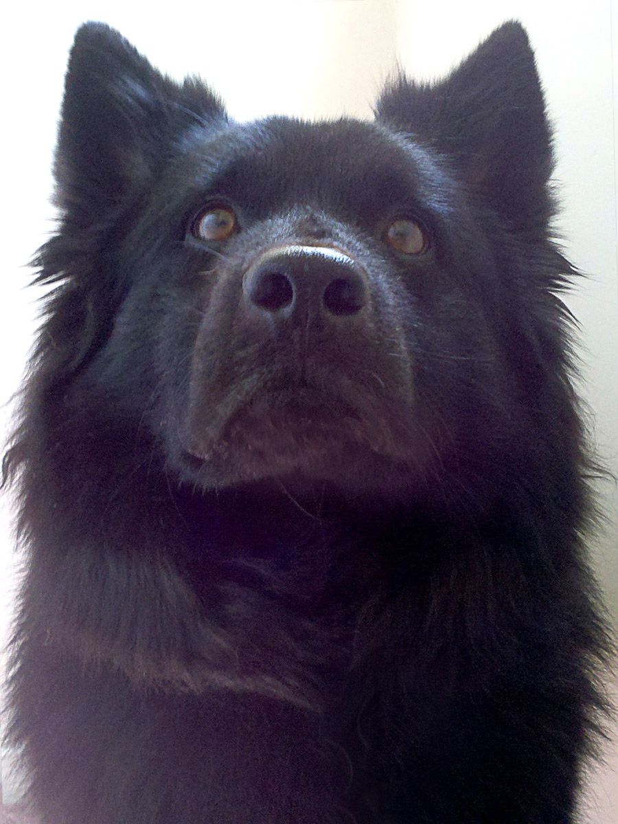 Swedish Lapphund Dog: Swedish Swedish Lapphund Dog Face Breed