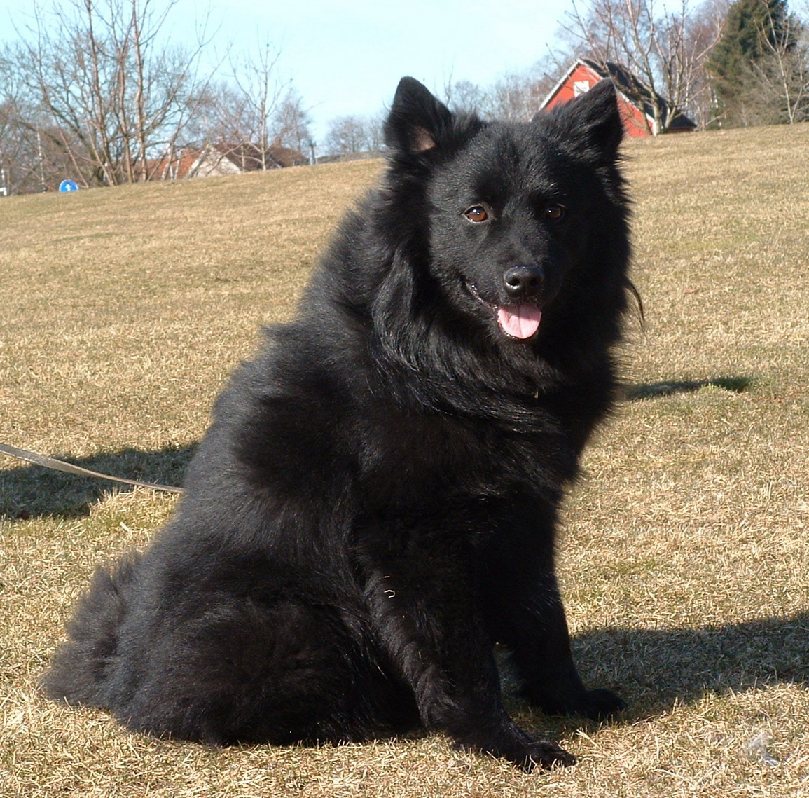 Swedish Lapphund Dog: Swedish Swedish Lapphund Dog In Nature Breed