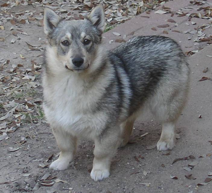 Swedish Vallhund Dog: Swedish Swedish Vallhund Dog Breed Pictures