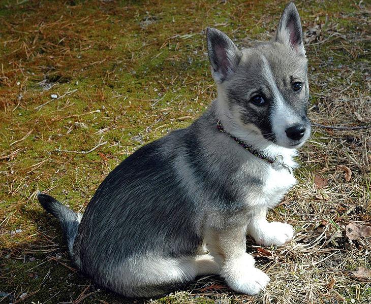Swedish Vallhund Dog: Swedish Swedish Vallhund Dog Breed
