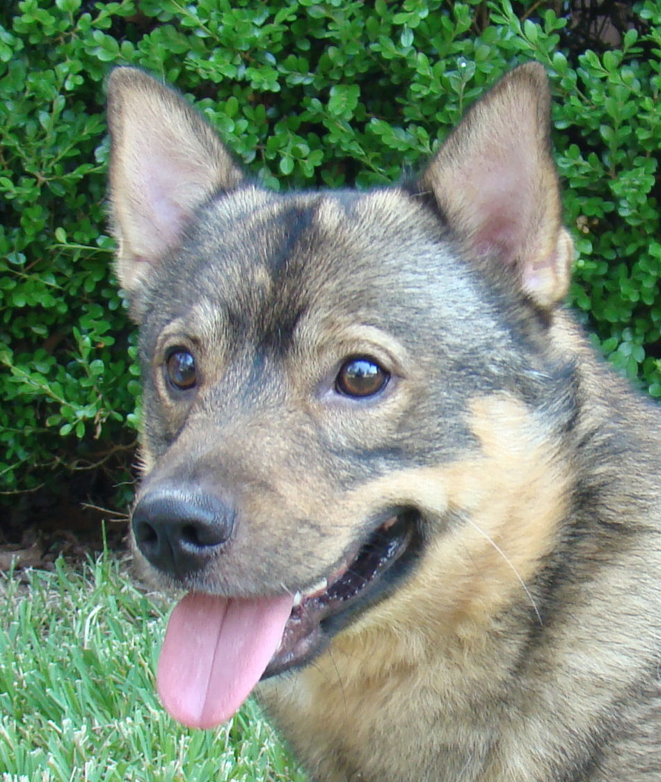 Swedish Vallhund Dog: Swedish Swedish Vallhund Dog Face Breed