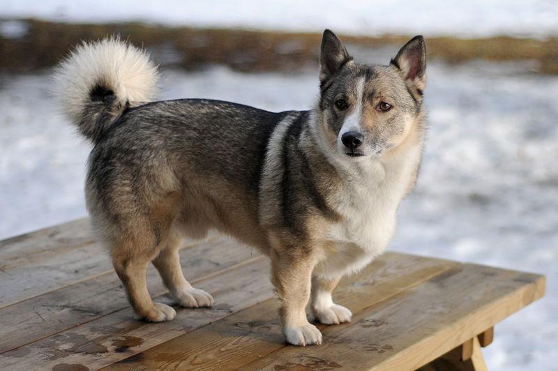 Swedish Vallhund Dog: Swedish Swedish Vallhund Viking Dog Breed