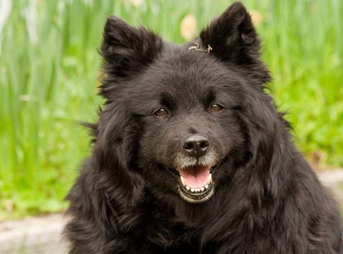Swedish Lapphund Dog: Swedish Swedishlapphund Breed