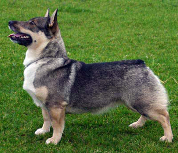 Swedish Vallhund Dog: Swedish Swedishvallhund Breed