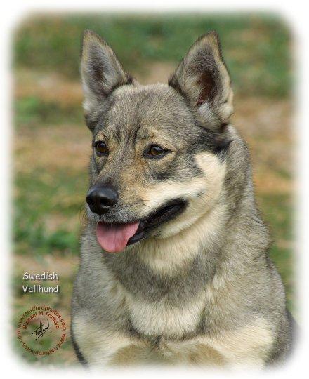 Swedish Vallhund Dog: Swedish Swedishvallhundjd Breed