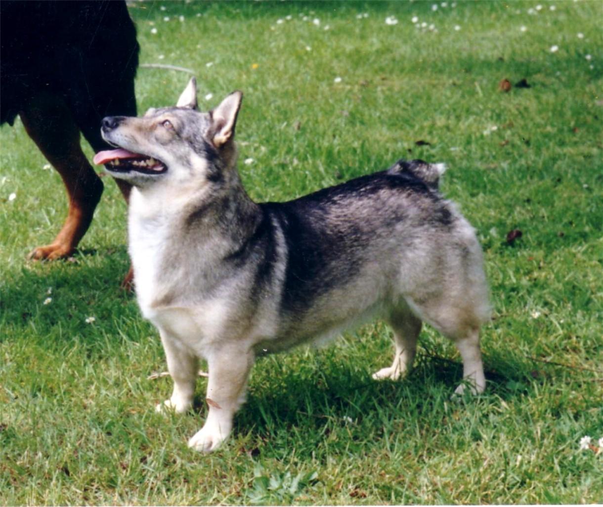 Swedish Vallhund Dog: Swedish Watching Swedish Vallhund Dog Breed