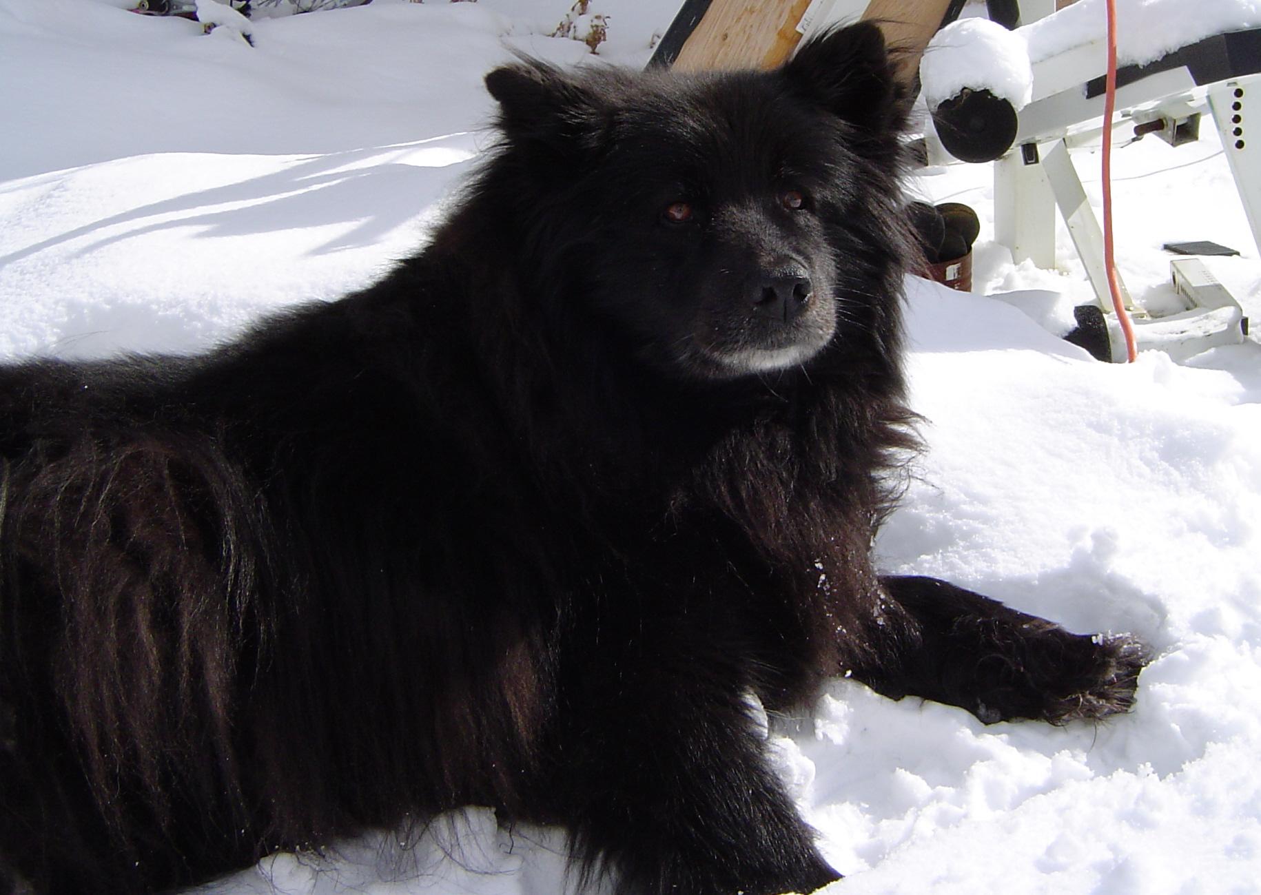 Swedish Lapphund Dog: Swedish Winter Swedish Lapphund Dog Breed