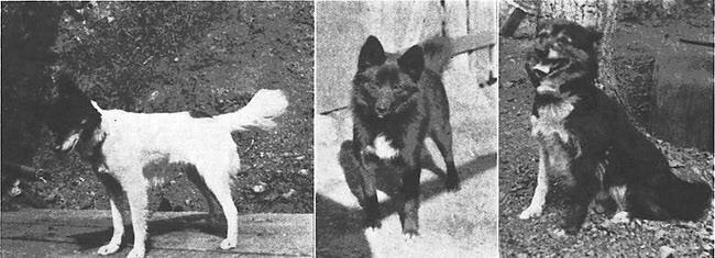 Tahltan Bear Dog: Tahltan Tahltan Bear Dog Breed